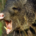 Angry Javelina with Tusks