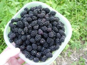 blackberries-noxubee-refuge-116