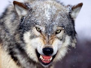 Gray-Wolf-15